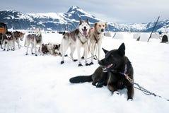Schlittenhunde auf einer Ruhepause Stockfoto