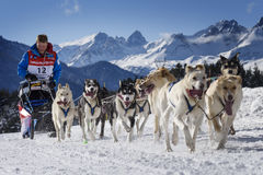 Schlittenhunde beim Geschwindigkeitslaufen Stockfotografie