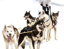 Schlittenhunde, die im Frühjahr in ein Team laufen stockfoto