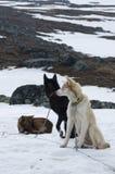 Schlittenhunde im Morgen Lizenzfreies Stockfoto
