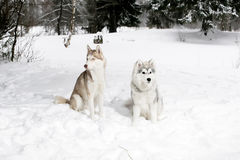 2 Schlittenhunde im Schnee Großer Hund und Welpe Lizenzfreie Stockfotografie