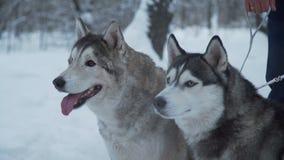 Schlittenhunde sitzen im Schnee stock video