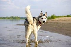 Schlittenhunde zurück schauen Lizenzfreies Stockfoto