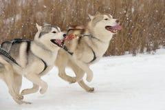 Schlittenhunderennen stockfotografie
