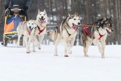 Schlittenhunderennen auf Schnee im Winter Stockfotografie