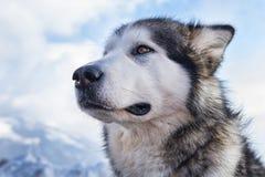 Schlittenhundeszene stockbild