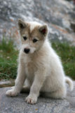 Schlittenhundewelpe, der in Ilulissat sitzt Stockbild