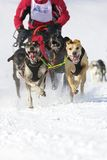 Schlittenhundrennen in Lenk/in der Schweiz 2012 Stockfotografie