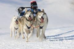 Schlittenhundrennen in Lenk/in der Schweiz 2012 Lizenzfreies Stockbild