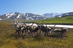 Schlittenren und -Pferdeschlitten in der Tundra Stockfotografie