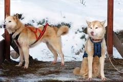 Schlittenschlittenhundhunde Arbeitsschlittenhund des Nordens Aktives heiseres Rodeln im Winter in den Geschirren, zum in zu fahre stockbilder