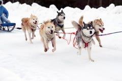 Schlittenschlittenhundhunde Arbeitsschlittenhund des Nordens Aktives heiseres Rodeln im Winter in den Geschirren, zum in zu fahre lizenzfreie stockfotos