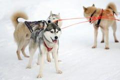 Schlittenschlittenhundhunde Arbeitsschlittenhund des Nordens Aktives heiseres Rodeln im Winter in den Geschirren, zum in zu fahre lizenzfreie stockbilder