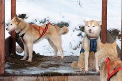 Schlittenschlittenhundhunde Arbeitsschlittenhund des Nordens Aktives heiseres Rodeln im Winter in den Geschirren, zum in zu fahre lizenzfreies stockfoto