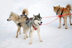 Schlittenschlittenhundhunde Arbeitsschlittenhund des Nordens Aktives heiseres Rodeln im Winter in den Geschirren, zum in zu fahre stockfoto