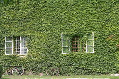 Schloshoff. The green wall with old Ivy Royalty Free Stock Photo