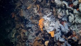 Schlosseri Botryllus, συνήθως γνωστό ως ascidian ή χρυσές χιτωνοφόρες αστεριών αστεριών απόθεμα βίντεο