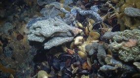 Schlosseri de Botryllus, conhecido geralmente como o ascidian da estrela ou o tunicado dourado da estrela video estoque