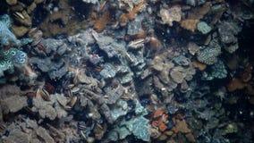 Schlosseri de Botryllus, sabido comúnmente como tunicado ascidio o de oro de la estrella de la estrella almacen de metraje de vídeo