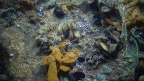 Schlosseri di Botryllus, conosciuto comunemente come il ascidian della stella o il tunicato dorato della stella stock footage