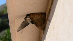 Schlucken Sie die Baby-Küken, die auf Nest, Schwalben-Babyküken auf dem Nestwartemund einziehen, der geöffnet ist, von ihren Elte stock footage
