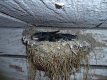 Schlucken Sie Nest im alten Stall mit littlle swalows Stockbilder