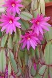 Schlumberger, cactus di Natale Fotografia Stock