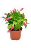 schlumbergera λουλουδιών Στοκ Εικόνες
