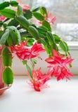 Schlumbergera кактуса рождества стоковые изображения rf