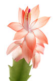 Schlumbergera Stock Photo