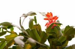 Schlumbergera Royalty Free Stock Photo