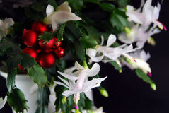 Schlumbergera And Baubles Royalty Free Stock Photography