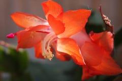 Schlumbergera bridgesii Bożenarodzeniowy kaktus Zdjęcie Royalty Free