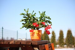 Schlumbergera cactus with red flowers. Schlumbergera trucata group cactus with red flowers in the pot Royalty Free Stock Photography