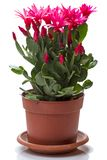 Schlumbergera de fleurs dans un pot de fleurs Photographie stock