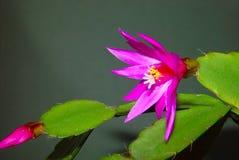 Schlumbergera de florescência do cacto. fotografia de stock royalty free