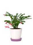 Schlumbergera del fiore in POT Fotografie Stock