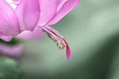 Schlumbergera Stock Photos