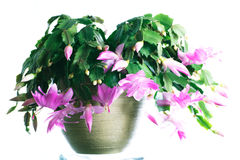 Schlumbergera Royalty Free Stock Photography