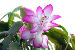 Schlumbergera flowers Stock Photos