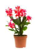 Schlumbergera, isolated Royalty Free Stock Images