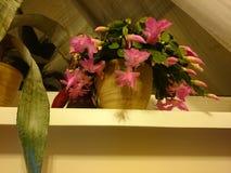 Schlumbergera Konstnärlig blick på blomman Royaltyfri Fotografi
