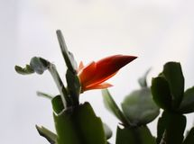 Schlumbergera flower. Christmas Cactus, Thanksgiving Cactus, Crab Cactus, Holiday Cactus. stock photos
