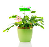 Schlumbergera plant is a genus of cacti Stock Photo