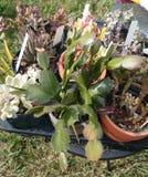 Schlumbergera truncata, Christmas cactus Stock Photos