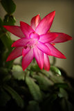 Schlumbergera truncata flower Stock Images