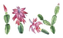 Schlumbergera. Zigokaktus Decembrists flowers on white background. Christmas pink flower. Watercolor stock illustration