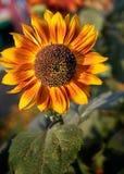 Schlusser Blütenstaub der Sonnenblume Lizenzfreies Stockfoto