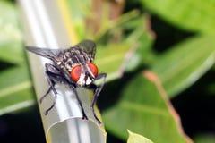 Schmeißfliege, Aasfliege, Schmeißfliegen, greenbottles oder Gruppenfliege Lizenzfreies Stockbild