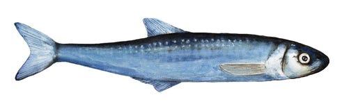 Schmelz-Fischillustration des Aquarells einzelne vektor abbildung